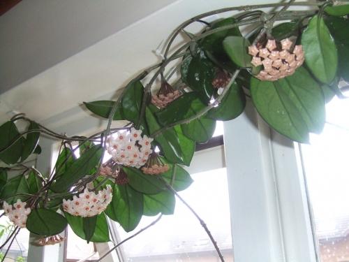 Hoya carnosa,fleur de porcelaine, jungle